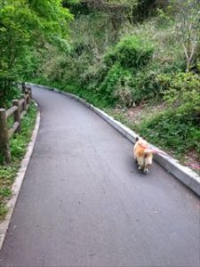 コーギーの子犬から寿命の未来までのブログ写真。