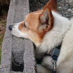 おしりにしっぽのあるコーギーブログの写真。聞く耳をもたないコーギー犬