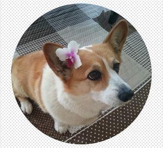 おしりに尻尾のあるコーギーブログの写真。いつまでもコーギーパピー犬