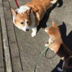 おしりにしっぽのあるコーギーブログの写真。豆柴とコーギーとお散歩