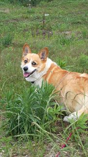おしりに尻尾のあるコーギーブログの写真。今日からブログを公開するコーギー犬
