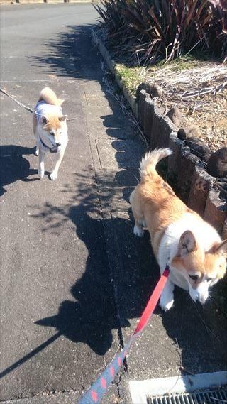 おしりにしっぽのあるコーギーブログの写真。コーギーと豆柴犬