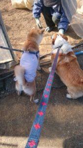 おしりにしっぽのあるコーギーブログの写真。コーギーと豆柴とお散歩