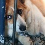 おしりにしっぽのあるコーギーブログの写真。動物病院へ行く
