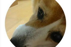 尻にしっぽのあるコーギーのブログ画像。ヘルニア