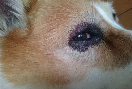 お尻にしっぽのあるコーギーのブログ画像 目の病気 免疫低下