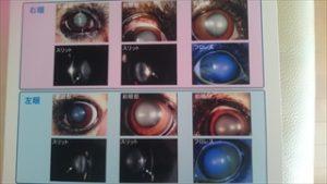 お尻にしっぽのあるコーギーのブログ画像。眼の病気