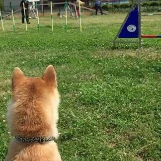 コーギーのブログ。ドッグトレーニング
