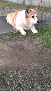 コーギーブログ 犬と草取り