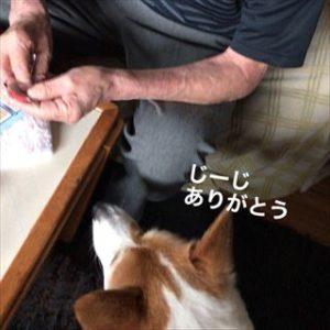 じーじとコーギー犬