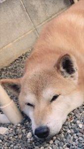コーギーブログ 柴犬
