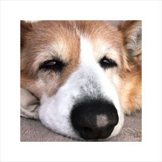 コーギー犬 老犬 寝る