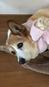 コーギー犬 エリザベスカラー