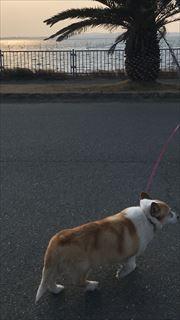 コーギー犬 海