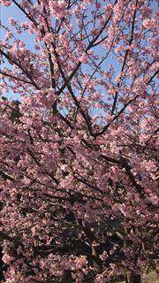 コーギーブログ 河津桜