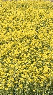 コーギーブログ 菜の花