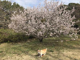 コーギーブログ 桜