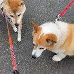 コーギー犬と柴犬