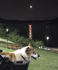 コーギー犬 誕生会