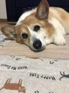 しっぽコーギー犬