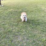 コーギー犬 走る
